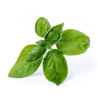 Basilico a foglie grandi ricarica Lingot per orto Véritable